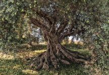 Komar National Geographic Olive Tree 8-531  poszter