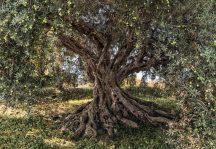 Komar National Geographic Olive Tree 8-531  poszter