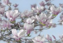 Komar Magnolia 8-738 poszter
