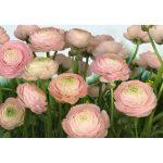 Komar Gentle Rose 8-894 poszter