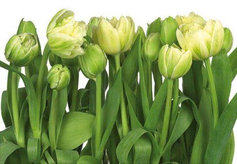 Tulips 8-900 poszter
