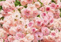 Komar 8-937 Rosa poszter