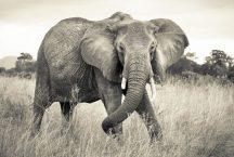 Komar Elephant XXL4-529 vliesposzter